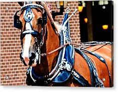 Show Horse Acrylic Print