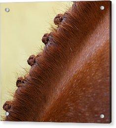 Show Horse Braids Acrylic Print