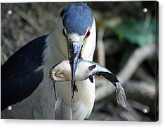 Showing Off His Lunch Acrylic Print