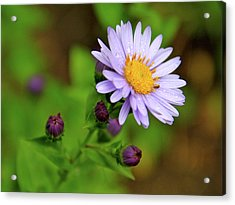 Showy Aster Acrylic Print by Ed  Riche