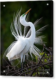Showy Egret Acrylic Print