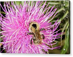 Shrill Carder Bee On Knapweed Flower Acrylic Print by Bob Gibbons