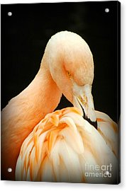 Shy Acrylic Print by Clare Bevan