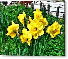 Shy Daffodils  Acrylic Print