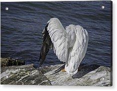 Shy Pelican Acrylic Print by Diego Re
