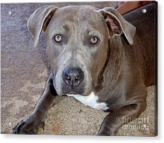 Shy Pit Bull Puppy Acrylic Print by Mary Deal