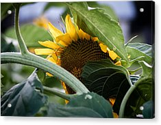 Acrylic Print featuring the photograph Shy Sunflower by Wayne Meyer