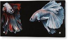 Siamese Fighting Fish  Acrylic Print by Wayne Pruse
