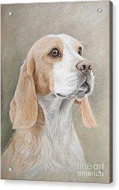 Beagle Portrait Acrylic Print by Tobiasz Stefaniak