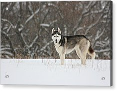 I've Been Spotted Acrylic Print
