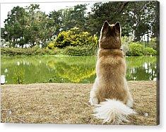 Siberian Husky Admiring Lake View, San Francisco, California, Usa Acrylic Print by Bojana Korach