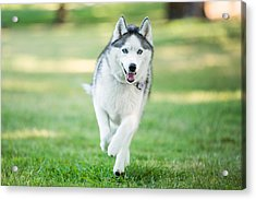 Siberian Husky Dog Running On Grass Outdoors Acrylic Print by Purple Collar Pet Photography