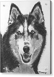 Siberian Husky Drawing Acrylic Print