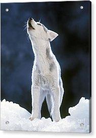 Siberian Husky Howling Acrylic Print