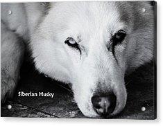 Siberian Husky  Acrylic Print by Lisa  DiFruscio