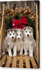 Siberian Husky Puppies In Traditional Acrylic Print