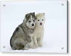 Siberian Husky Puppies Acrylic Print by M. Watson