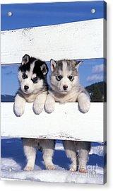 Siberian Husky Puppies Acrylic Print