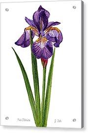 Siberian Iris II - Iris Sibirica Acrylic Print