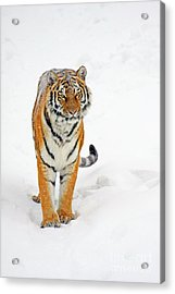 Siberian Tiger Animal Acrylic Print by Boon Mee