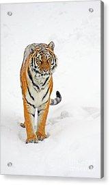 Siberian Tiger Animal Acrylic Print by Boon Mee