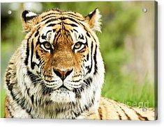 Siberian Tiger Beautiful Closeup Acrylic Print by Boon Mee