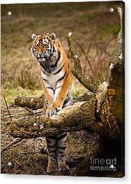 Siberian Tiger Acrylic Print by Boon Mee