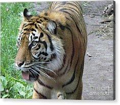 Acrylic Print featuring the photograph Siberian Tiger by Lingfai Leung