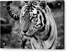 Siberian Tiger Monochrome Acrylic Print by Semmick Photo