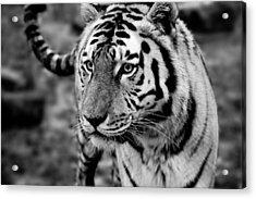 Siberian Tiger Monochrome Acrylic Print by Semmick Photo