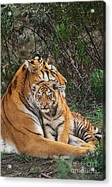 Siberian Tiger Mother And Cub Endangered Species Wildlife Rescue Acrylic Print