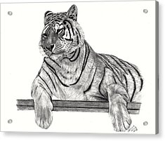 Siberian Tiger Acrylic Print by Patricia Hiltz