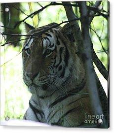 Siberian Tiger Profile Acrylic Print by John Telfer