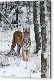 Siberian Tiger - Snow Wood Acrylic Print