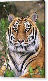 Siberian Tiger Staring Endangered Species Wildlife Rescue Acrylic Print by Dave Welling