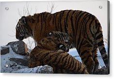 Siberian Tigers Acrylic Print by Brett Geyer