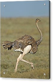 Side Profile Of An Ostrich Running Acrylic Print