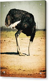Side View Of An Ostrich On Landscape Acrylic Print by Robert Morrissey / Eyeem