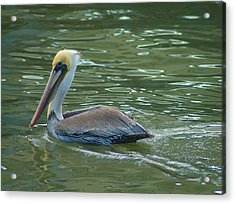 Sidelong Look From A Pelican Acrylic Print by Sarah Crites