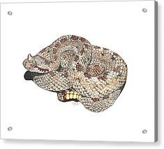 Sidewinder Acrylic Print