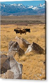 Sierra Cattle Acrylic Print by Jan Davies