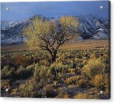 Sierra Sunlit Tree Acrylic Print