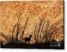 Acrylic Print featuring the photograph Silhouette Bighorn Sheep by John Wadleigh