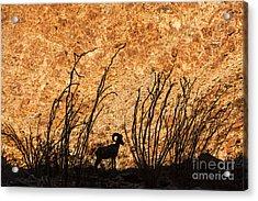 Silhouette Bighorn Sheep Acrylic Print by John Wadleigh