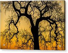 Silhouette Oak Acrylic Print