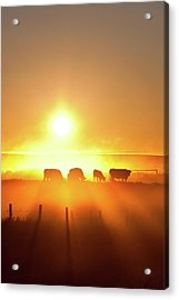 Silhouette Of Cattle Walking Across The Acrylic Print by Imaginegolf