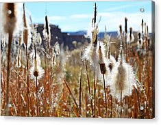Silky Cat's Tails Acrylic Print