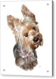 Silky Terrier Acrylic Print by Paul Tagliamonte