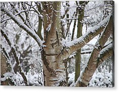 Acrylic Print featuring the photograph Silver Birch by Elizabeth Lock