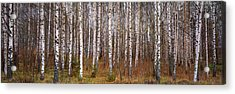 Silver Birch Trees In A Forest, Narke Acrylic Print by Panoramic Images